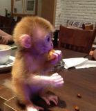 袖珍宠物猴