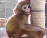 袖珍石猴出售